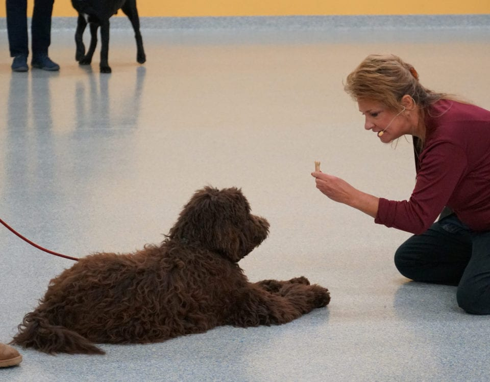 Leader of the Pack Canine Institute dog trainer training a brown poodle