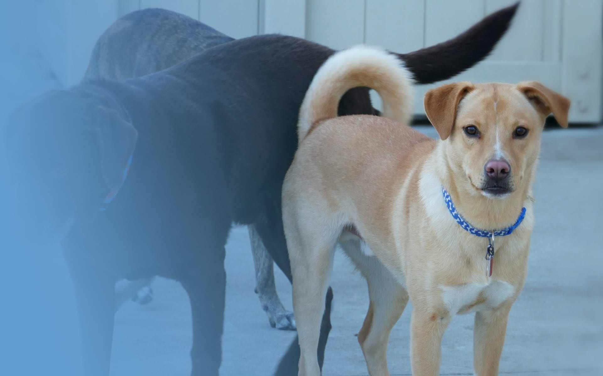 Shiba Inu Yellow Lab Mix and Chocolate Lab dogs at a Leader of the Pack Canine Institute dog kennel